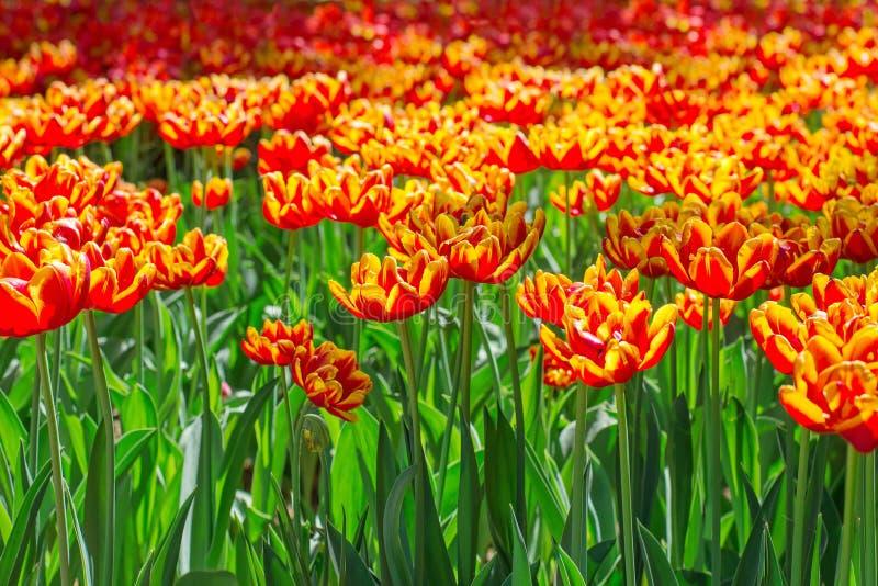 Fiori arancio di fioritura in parco immagini stock