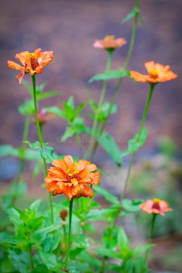 Fiori arancio di morte in autunno fotografie stock