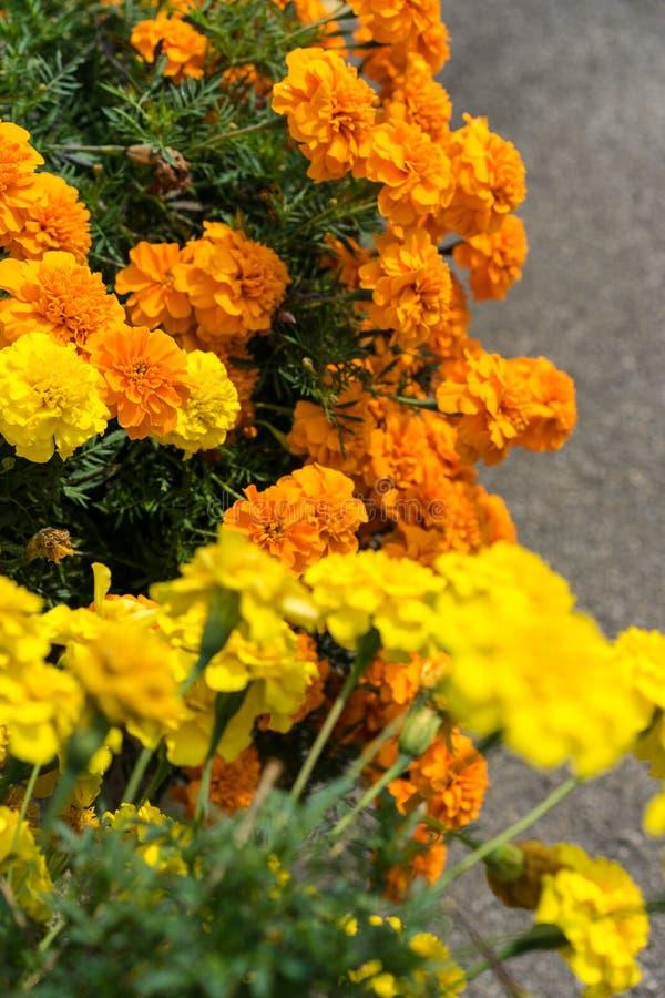 Fiori arancio e gialli che fioriscono con la via concreta nella parte posteriore immagini stock libere da diritti