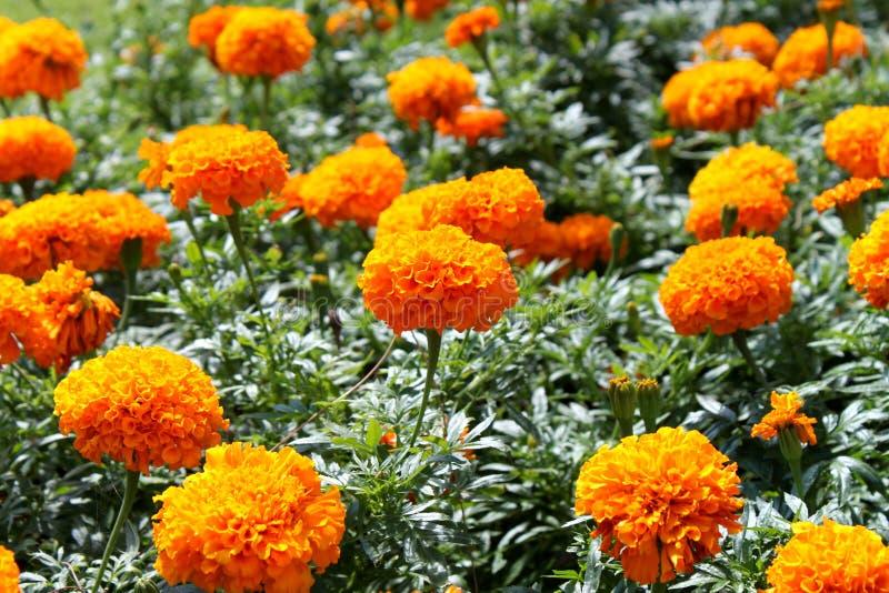 Fiori arancioni immagine stock immagine di nave fiori for Fiori ornamentali