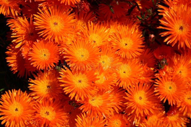 Fiori arancioni immagine stock