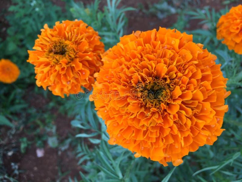 Fiori arancioni immagini stock libere da diritti