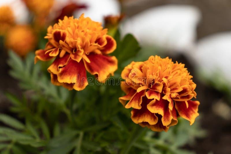 Fiori arancioni con i fogli verdi immagine stock libera da diritti