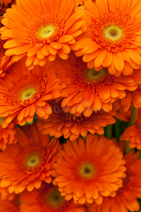 Fiori arancioni del gerbera fotografia stock