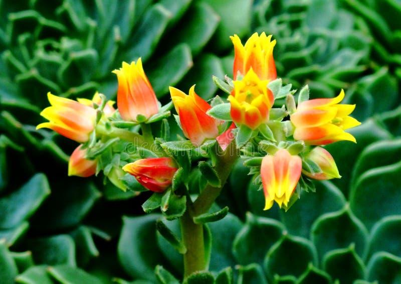 Fiori ardenti del cactus fotografia stock