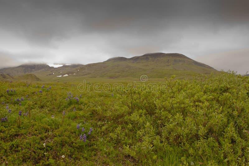 Fiori artici e montagne nebbiose fotografia stock
