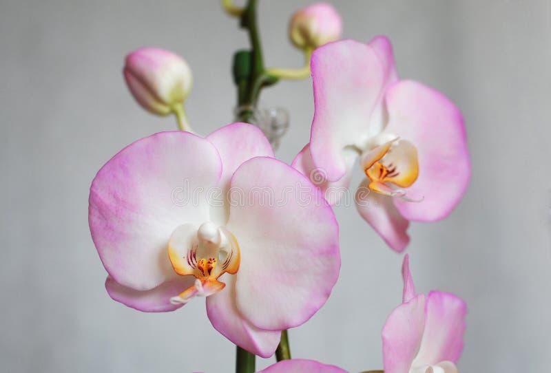 Fiori artificiali, phalaenopsis immagine stock