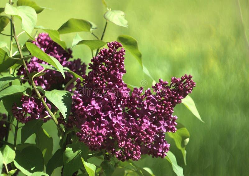 Fiori beautyful di colore porpora lilla fotografie stock libere da diritti