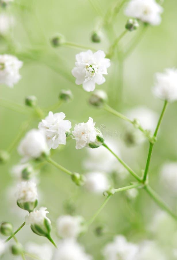 Fiori bianchi immagine stock immagine di flora estratto for Fiori piccoli bianchi