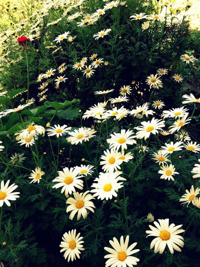 Fiori bianchi fotografie stock