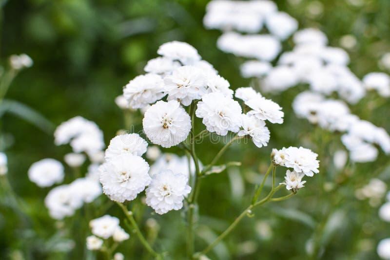 Fiori bianchi adorabili su un fondo verde immagini stock