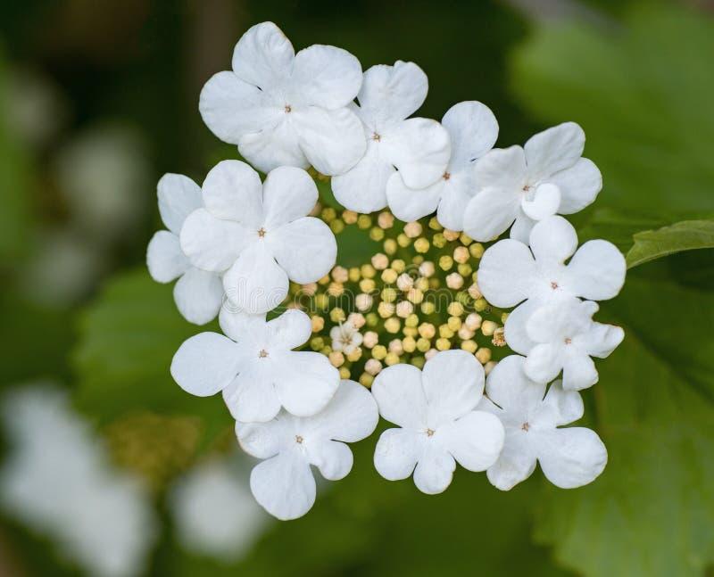 Fiori bianchi bei di fioritura del cespuglio decorativo con il petalo cinque fotografie stock libere da diritti