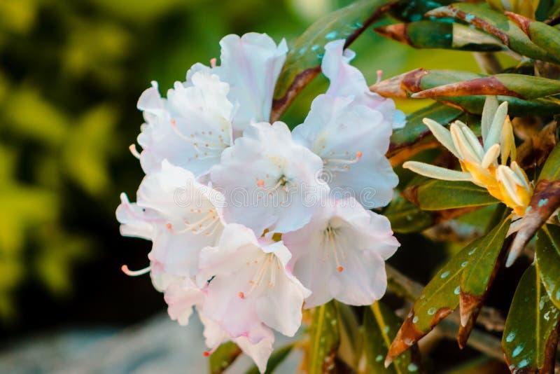 Fiori bianchi che fioriscono ai giardini giapponesi a Grand Rapids Michigan un giorno di molla immagini stock