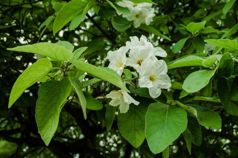 Fiori bianchi circondati dalle foglie verdi, colori di contrapposizione naturali dei fiori immagini stock libere da diritti
