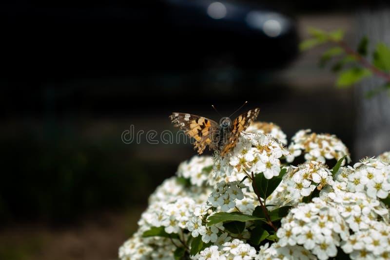 Fiori bianchi con la farfalla fotografia stock libera da diritti