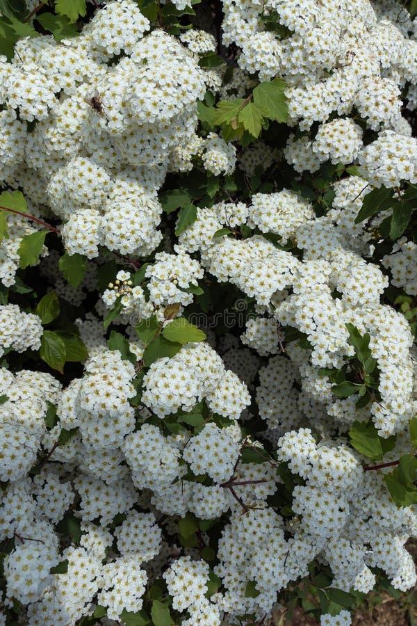 Fiori bianchi con le foglie fotografia stock