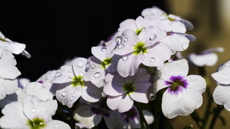 Fiori bianchi con le gocce dell'acqua fotografie stock