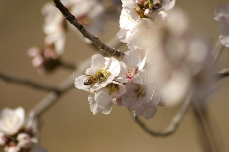 fiori bianchi d'impollinazione della mandorla dell'incrocio dell'ape del miele immagini stock libere da diritti