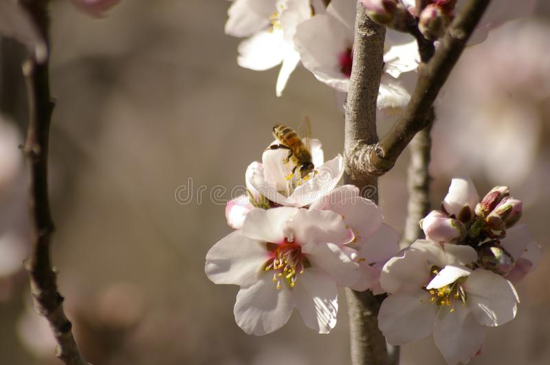fiori bianchi d'impollinazione della mandorla dell'incrocio dell'ape del miele fotografie stock
