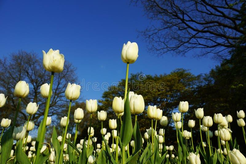 Fiori bianchi dei tulipani fotografia stock libera da diritti