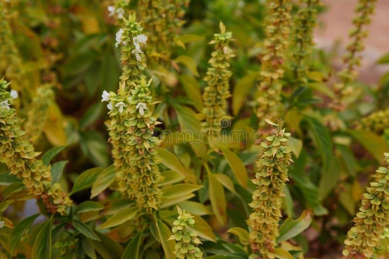 Fiori bianchi del basilico nel fondo della fioritura, vago espressamente fotografie stock