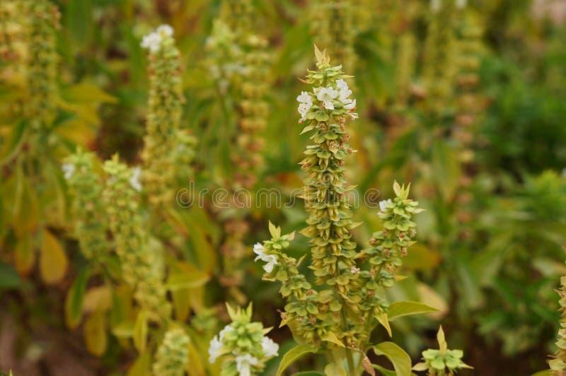 Fiori bianchi del basilico nel fondo della fioritura, vago espressamente fotografie stock libere da diritti