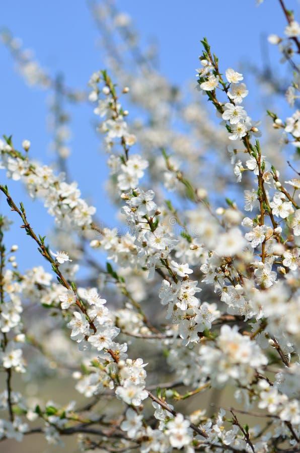 Fiori bianchi del ciliegio della sorgente in fioritura fotografia stock