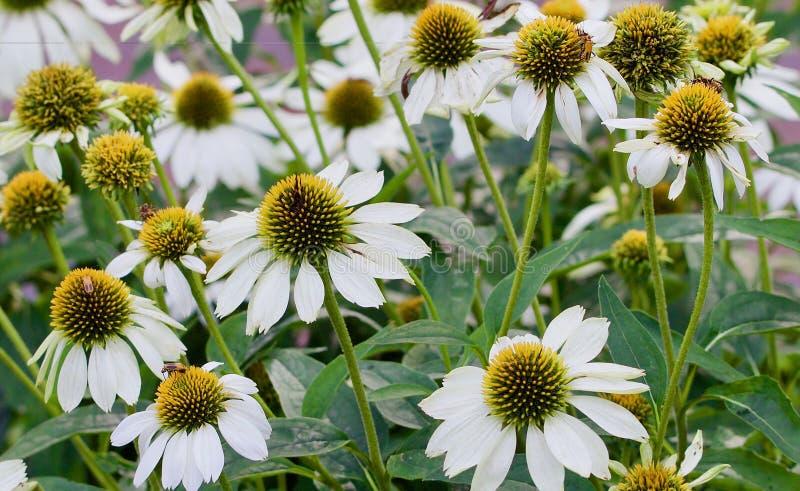 Fiori bianchi del cono fotografia stock