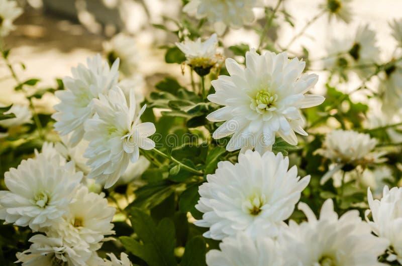 Fiori bianchi del crisantemo immagine stock