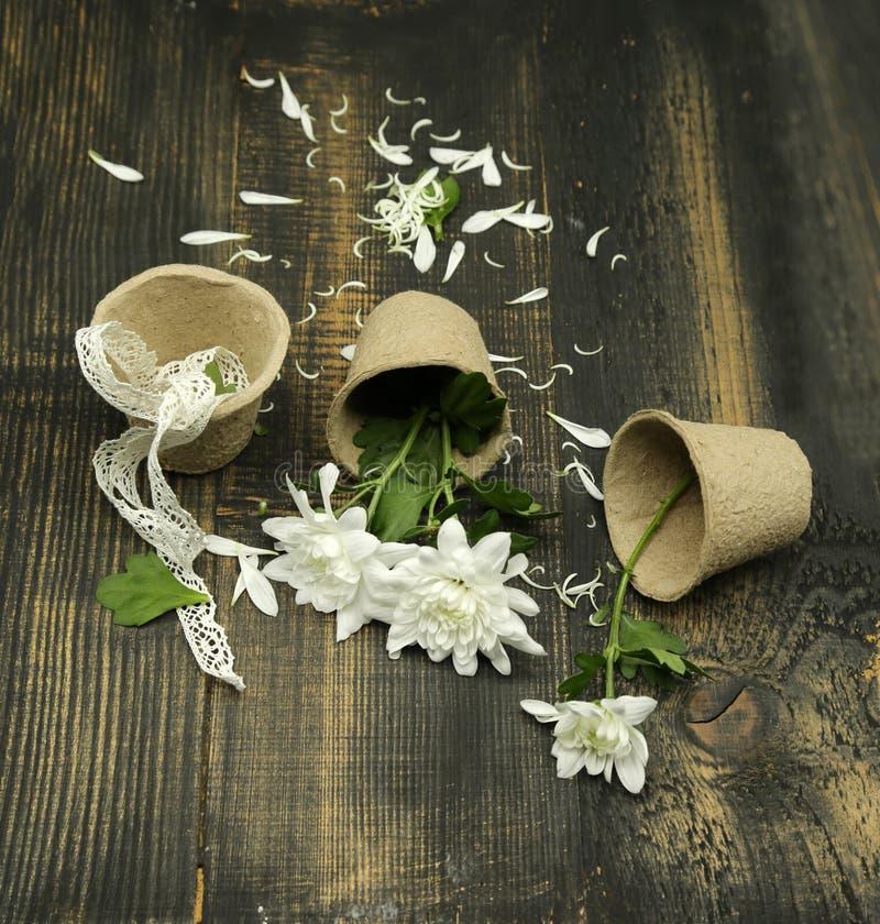 Fiori bianchi del crisantemo, composizione conservata in vaso e creativa su fondo di legno rustico con un nastro di whitevintage immagine stock