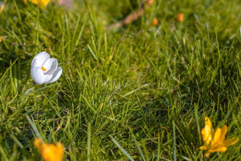 Fiori bianchi del croco in fioritura, con lo spazio della copia fotografia stock