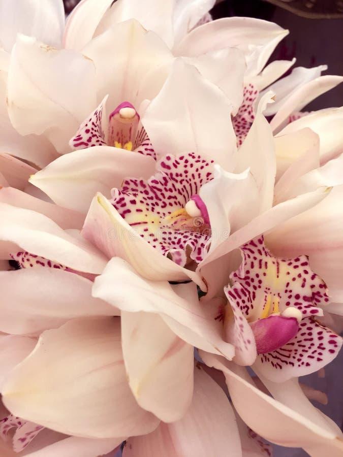 Fiori bianchi del Cymbidium dell'orchidea isolati su fondo nero L'orchidea ha isolato il fondo del onblack immagini stock