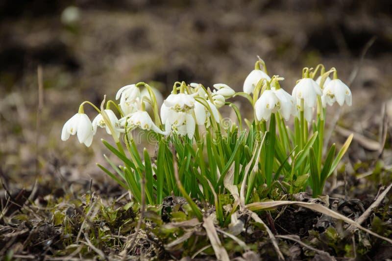 Fiori bianchi del fiocco di neve, un presagio della molla venente immagini stock
