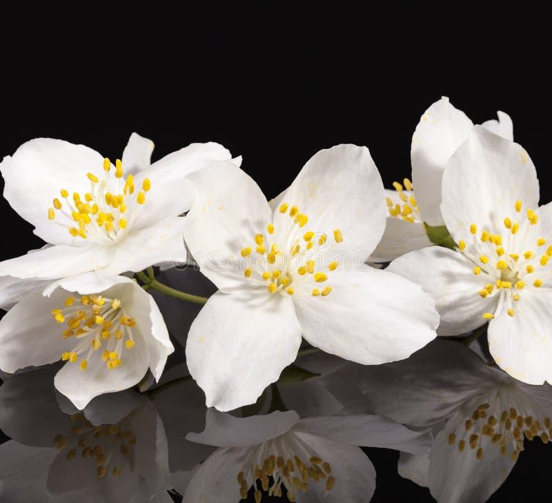 Fiori bianchi del gelsomino su fondo nero fotografie stock libere da diritti
