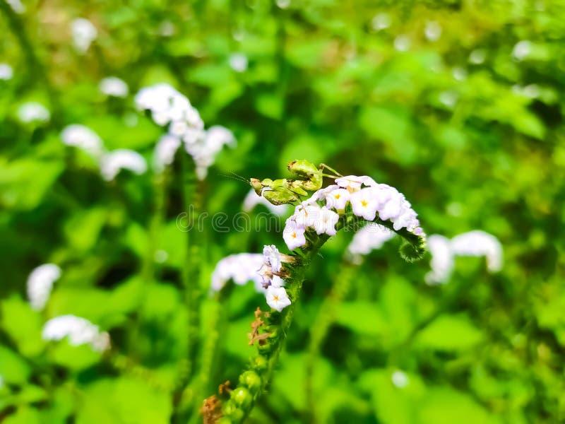 Fiori bianchi del piccolo delle cavallette albero verde dell'isola che che fioriscono fotografia stock libera da diritti