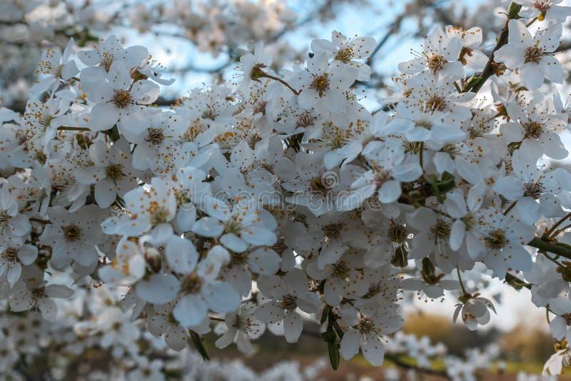 Fiori bianchi del prunus cerasifera fotografia stock