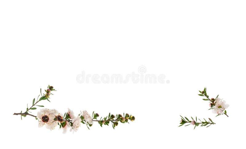 Fiori bianchi dell'albero di manuka isolati su fondo bianco con lo spazio della copia qui sopra fotografia stock
