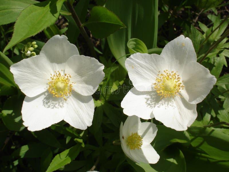 Fiori bianchi dell 39 elleboro immagine stock immagine di for Elleboro bianco