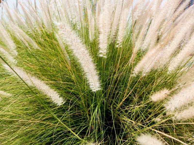 Fiori bianchi dell'erba del primo piano sul fondo della natura fotografia stock libera da diritti