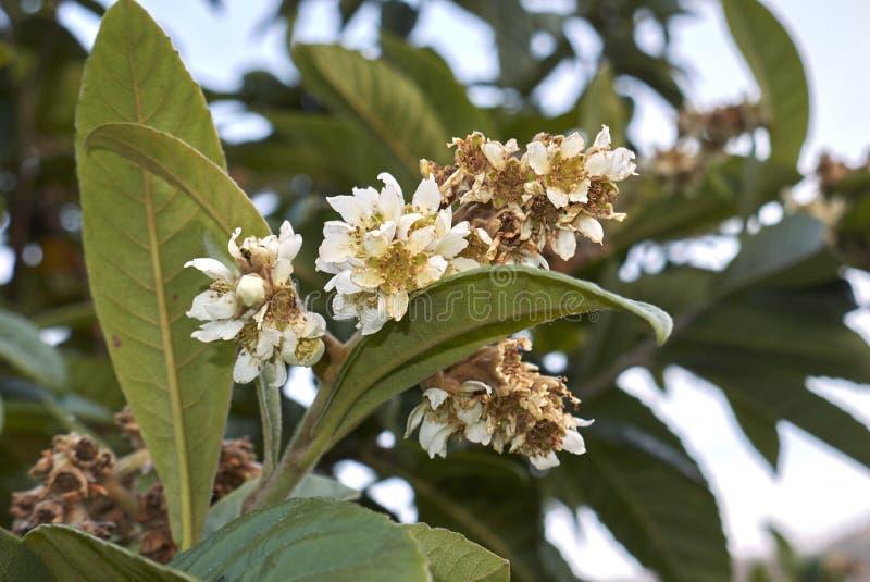 Fiori bianchi dell'eriobotrya japonica fotografie stock