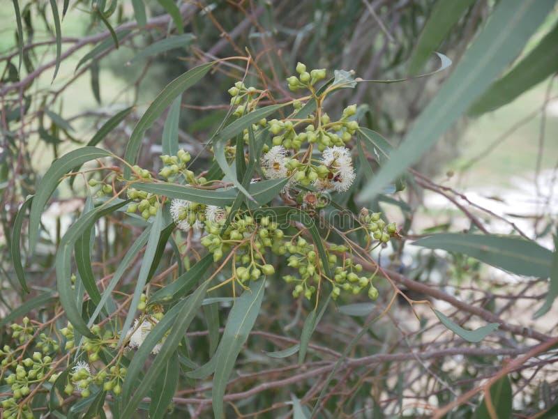 Fiori bianchi dell'eucalyptus e nuovo germoglio su un ramo un giorno di molla mallee blu-leaved dell'olio Eucalyptus polybractea fotografie stock libere da diritti