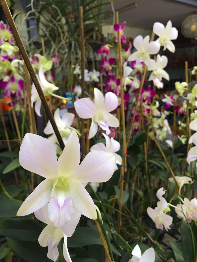 Fiori bianchi dell'orchidea del primo piano con i precedenti dei fiori porpora e bianchi dell'orchidea fotografie stock