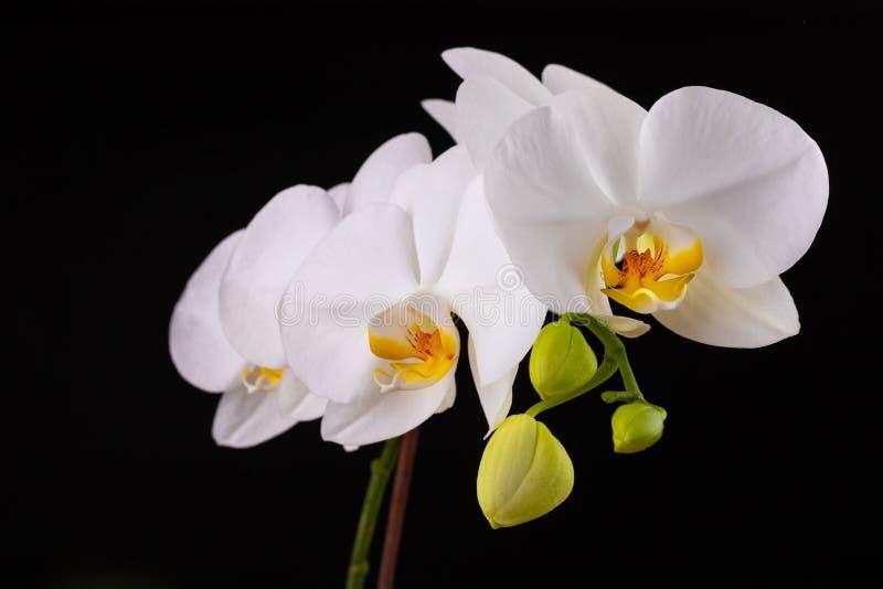Fiori bianchi dell'orchidea Un fiore meravigliosamente sbocciato è cresciuto nelle circostanze domestiche fotografie stock