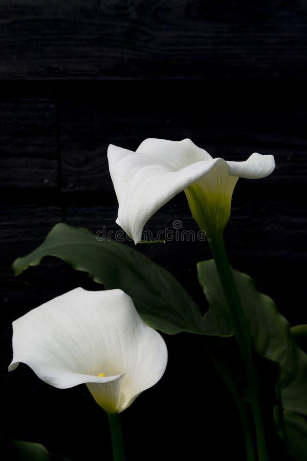 Fiori bianchi della calla su fondo nero fotografia stock