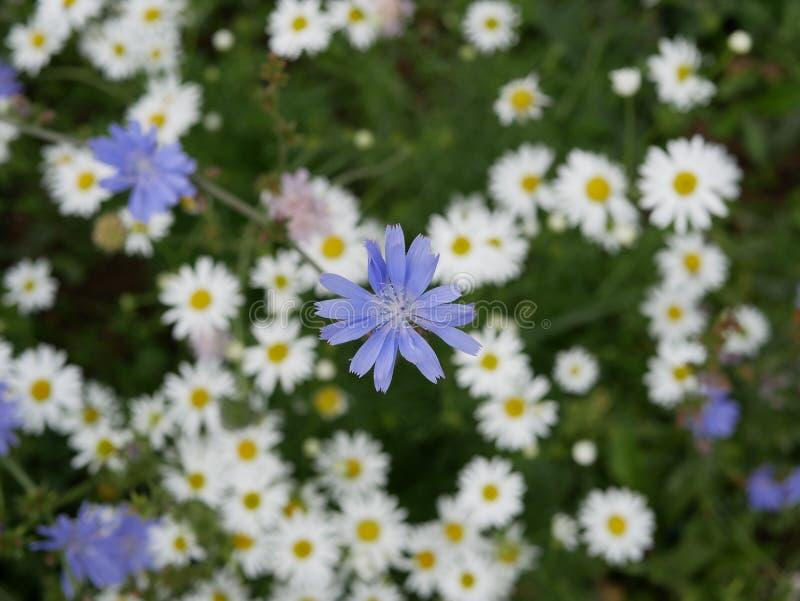 Fiori bianchi della camomilla e fiori blu della cicoria un giorno di estate soleggiato Fiori del campo Bellezza in natura fotografia stock libera da diritti