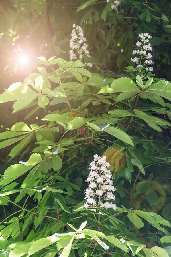 Fiori bianchi della castagna d'India su un ramo con fogliame verde sopra fotografie stock libere da diritti