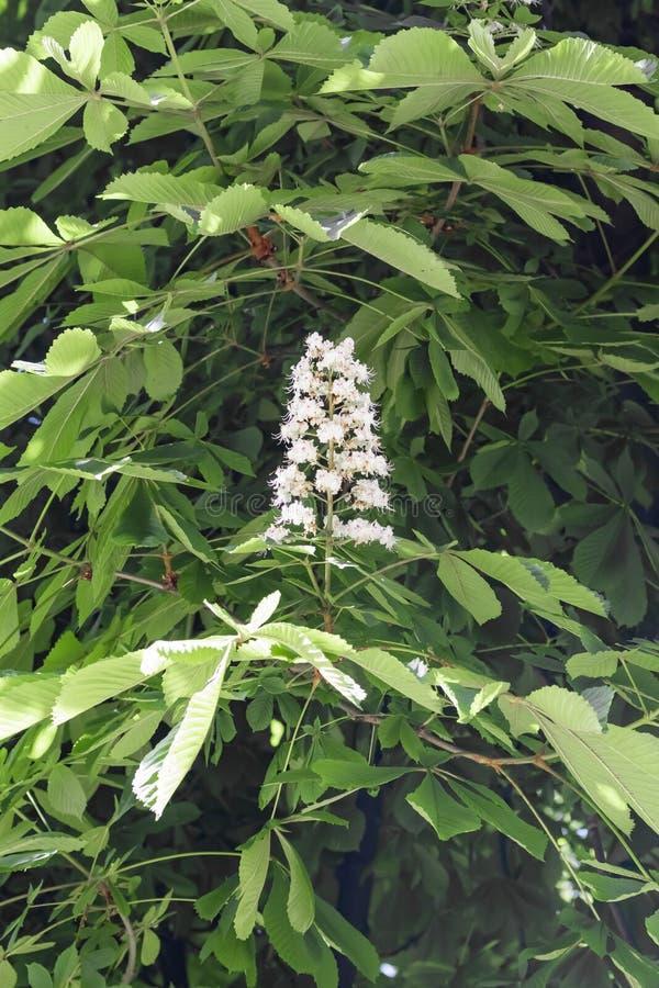 Fiori bianchi della castagna d'India su un ramo con fogliame verde sopra fotografia stock