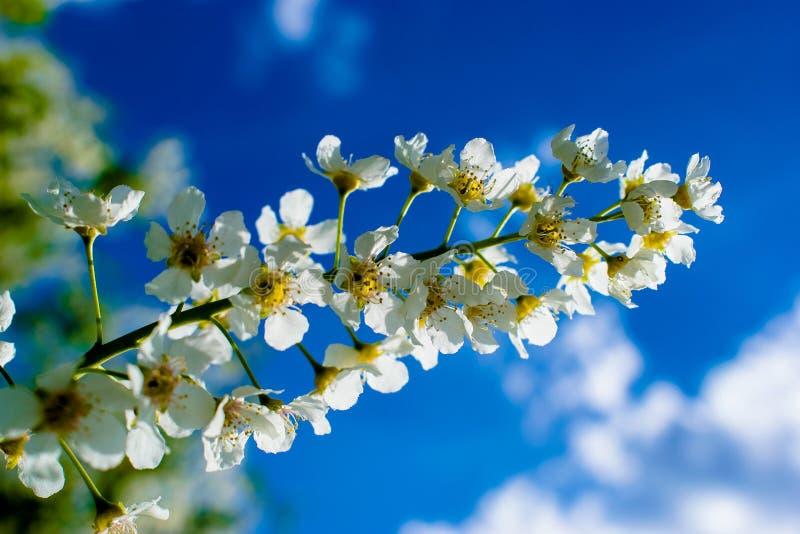 Fiori bianchi della ciliegia di uccello contro cielo blu un chiaro giorno fotografia stock