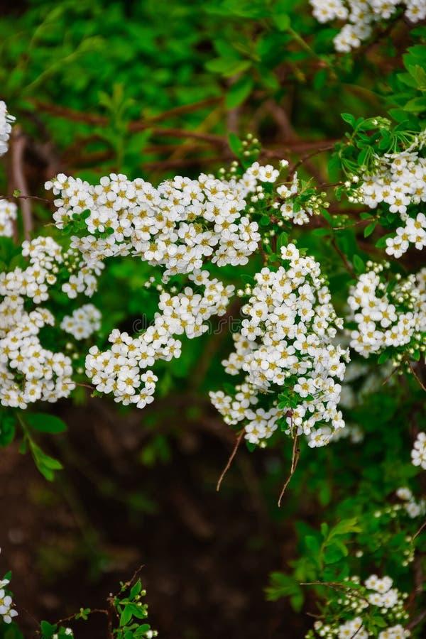 Fiori bianchi della fine di spirea su fotografia stock