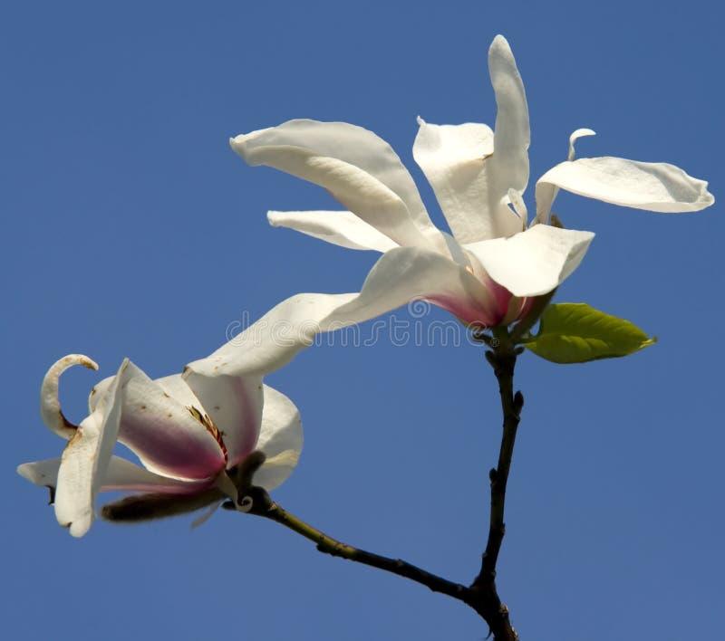 Fiori bianchi della magnolia immagine stock immagine di for Magnolia pianta prezzi